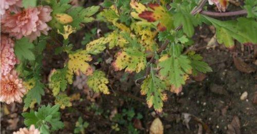 Септориоз хризантем
