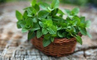 Секреты выращивания мяты в домашних условиях