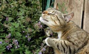 Особенности кошачьей мяты