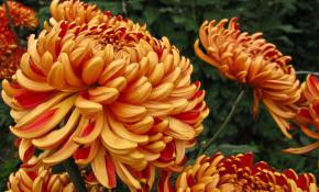 Сорта и правила выращивания крупноцветковой хризантемы