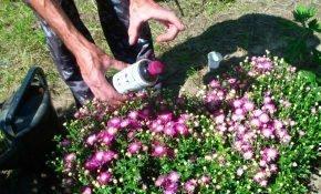 Как и чем подкормить хризантему