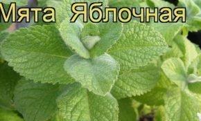 Особенности сорта мяты Яблочная