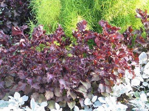 перилла растение