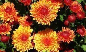 Способы размножения хризантем осенью