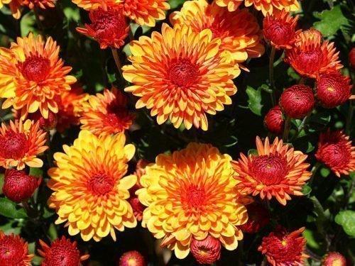 размножение хризантем осенью