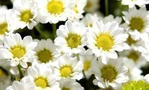 Особенности выращивания ромашковых хризантем