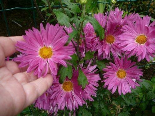 Розовая ромашка