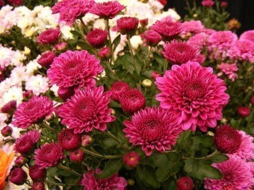 садовая хризантема