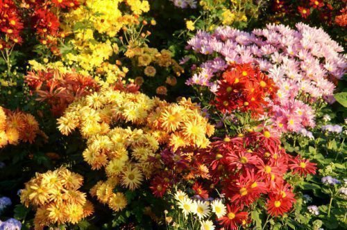 сажать хризантемы осенью