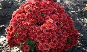 Сорта шаровидных хризантем