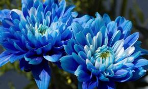 Как вырастить синюю хризантему