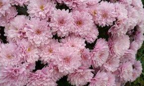 Способы хранения хризантемы до весны