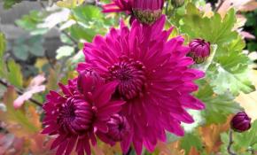 Методы ускорения цветения у хризантем