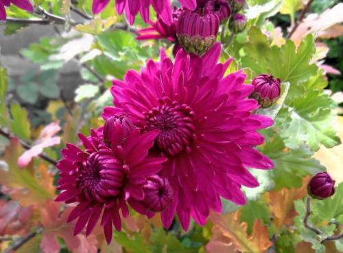 ускорить цветение хризантем