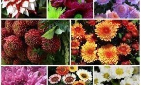 Разнообразие видов и сортов хризантем