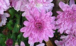 Сорта зимостойких хризантем для открытого грунта