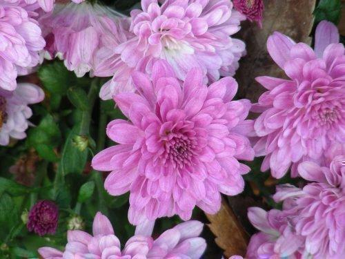 зимостойкие сорта хризантемы