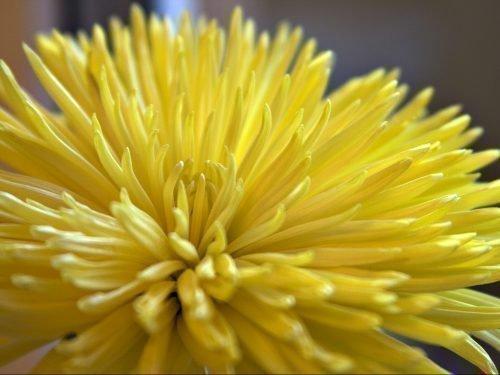 хризантема анастасия