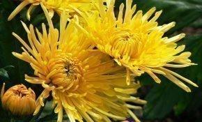 Агротехника для хризантем Анастасия