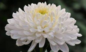 Как правильно выращивать хризантемы сорта Антонов