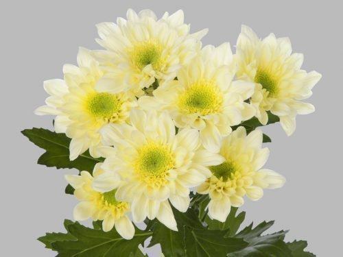хризантема мона лиза