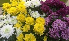 Выращивание хризантем сорта Зембла
