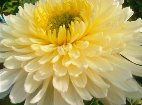 Индийские крупноцветковые хризантемы