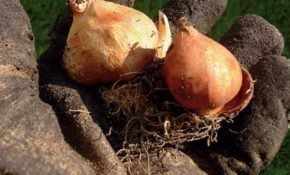 Способы хранения луковиц тюльпанов