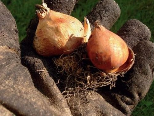 как хранить луковицы тюльпанов зимой