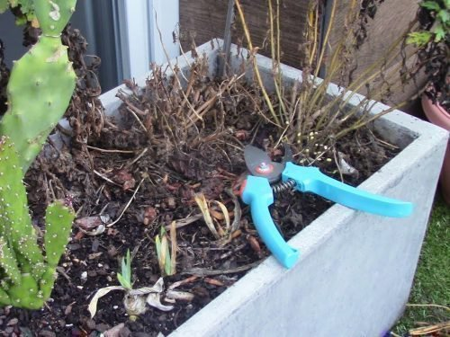 Как провести обрезку хризантем на зиму