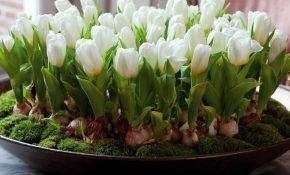 Можно ли зимой вырастить тюльпаны дома