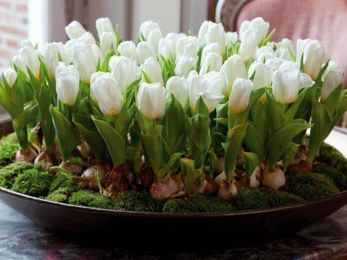 как вырастить тюльпаны в горшке дома