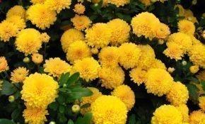 Самые популярные сорта кустовых хризантем