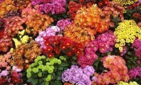 Лучшие сорта многолетних хризантем