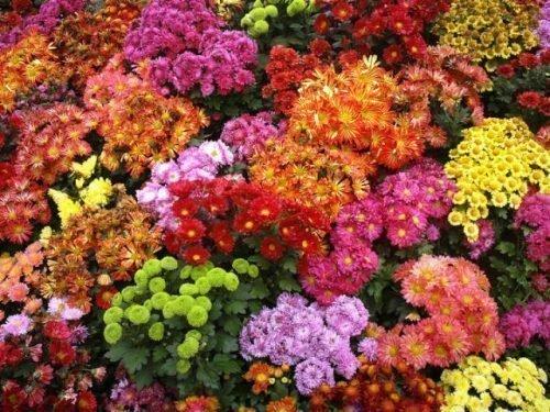 многолетняя хризантема