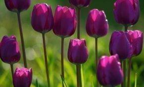 Правила посадки тюльпанов в весенний период