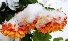 Осенняя подготовка хризантем к зиме