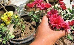 Правила посадки хризантемы осенью