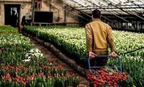 Особенности тепличного выращивания тюльпанов