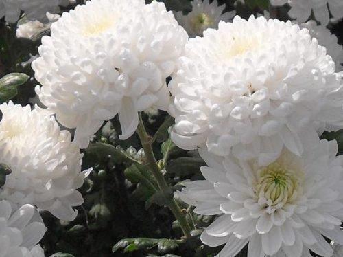 Хризантемы Рефлекс