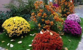 Разведение корейских хризантем разных сортов