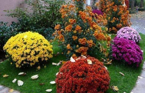 Корейские хризантемы в саду