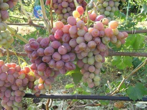 Созревание урожая Атамана