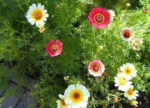 Выращивание килеватой хризантемы
