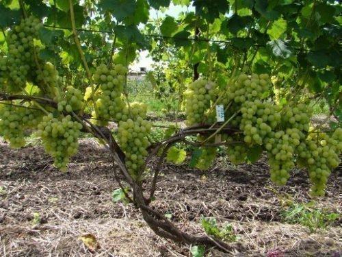 Куст винограда Мускат посада