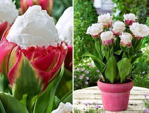 Сорт тюльпанов Пломбир