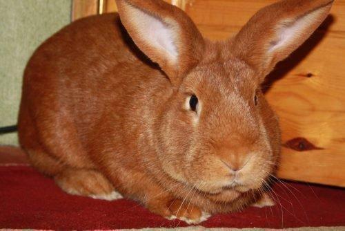 Взрослый кролик бургундской породы