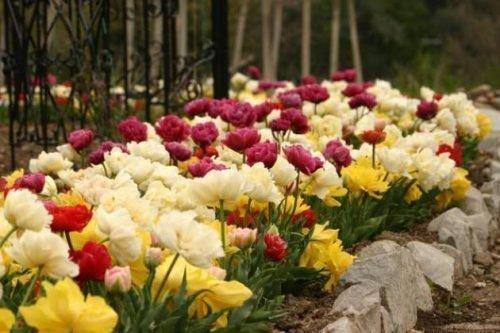 Клумба с пионовидными тюльпанами