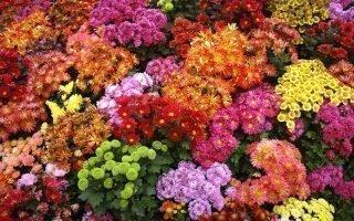 12 красивейших сортов низкорослых хризантем