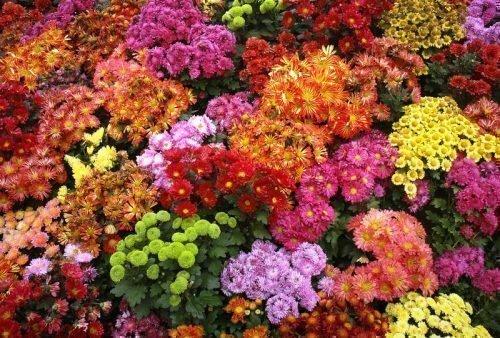 Низкорослые хризантемы